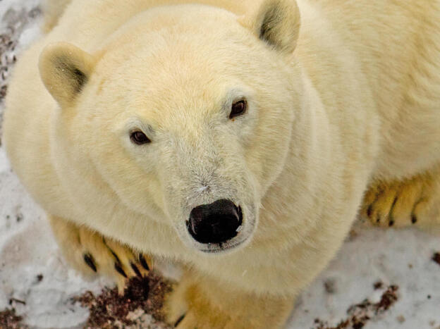 A polar bear looks up as the sound of the camera catches his ear on the edge of the Hudson Bay, outside Churchill, Manitoba, Canada.
