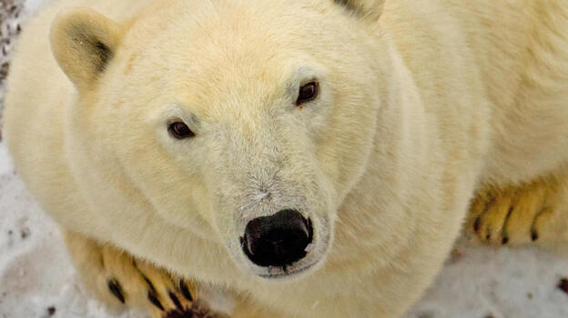 A polar bear looks up as the sound of the camera catches his ear on the edge of the Hudson Bay, outside Churchill, Manitoba, Canada. (AFP/Getty Images)