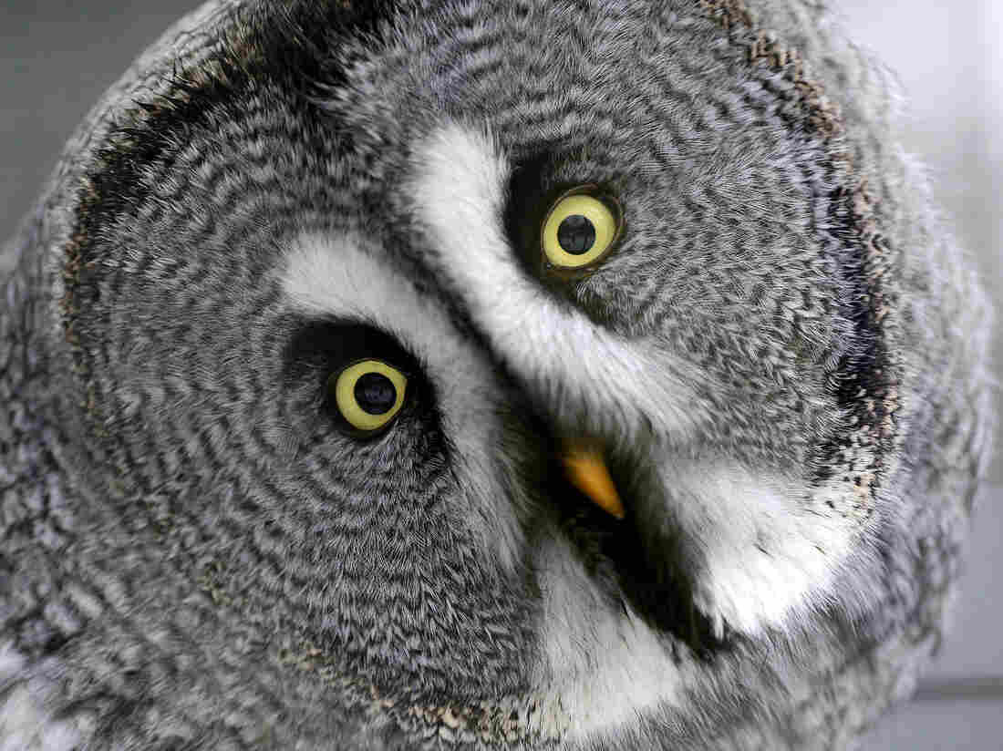 How does a great gray owl do that? Now we know.