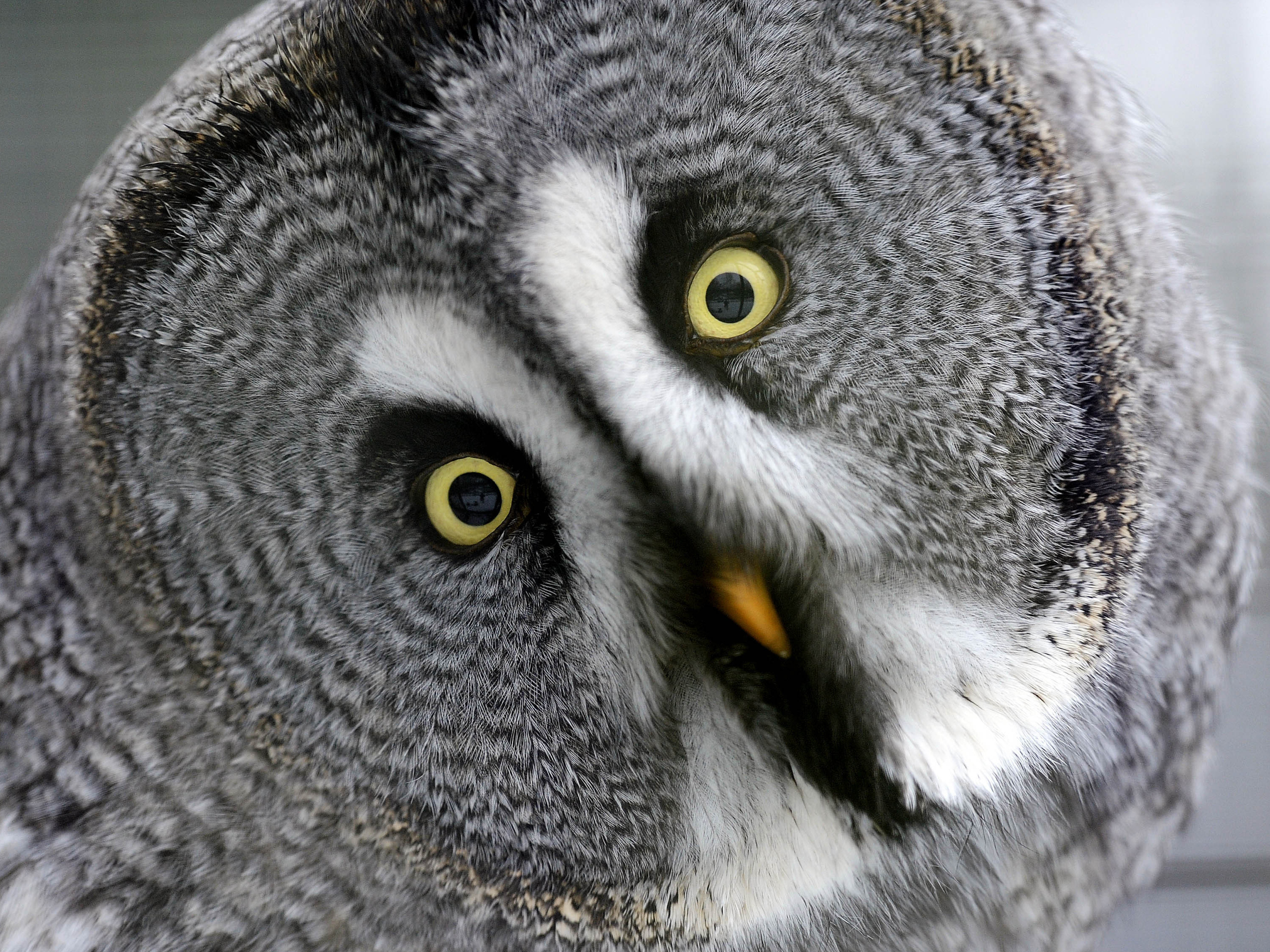 How Owls Spin Their Heads Without Tearing Arteries Shots Health News Npr