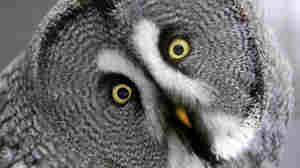 How Owls Spin Their Heads Without Tearing Arteries