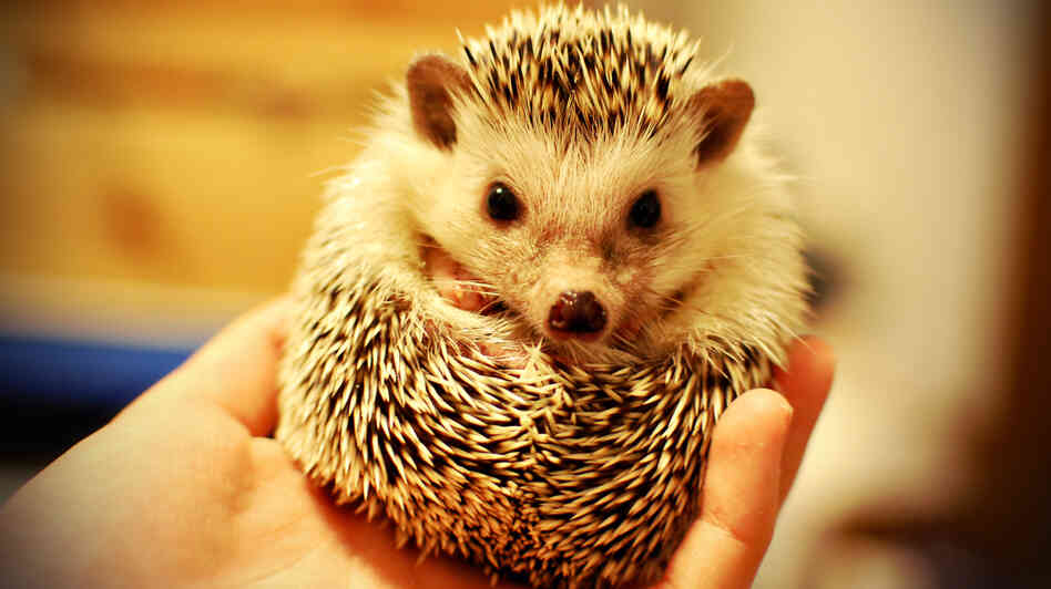 We have no reason to think this little guy isn't clean as a whistle, but some hedgehogs carry salmone
