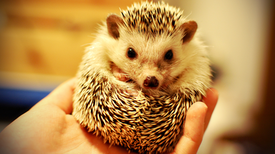 We have no reason to think this little guy isn't clean as a whistle, but some hedgehogs carry salmonella.