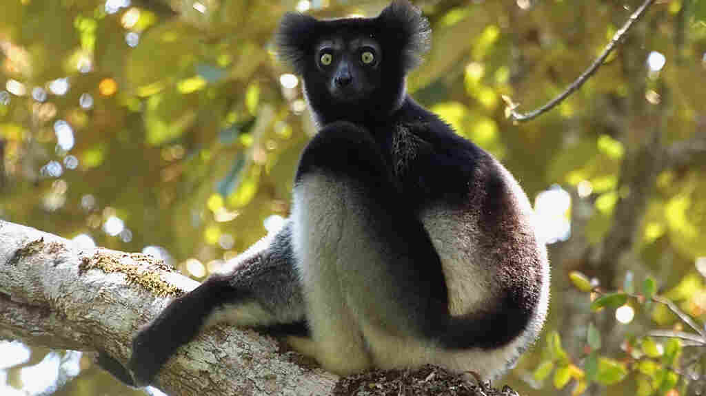 "The Macaulay Library describes the indri lemur, with its clarinet-like call, as the ""best candidate to appear on a John Coltrane record."""