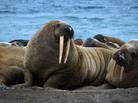 The sound of a male walrus is just one of the more than 9,000 recordings in the Macaulay Library's new digital archive.