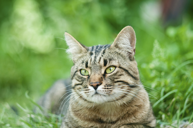A domestic cat resting outdoors in the green grass.