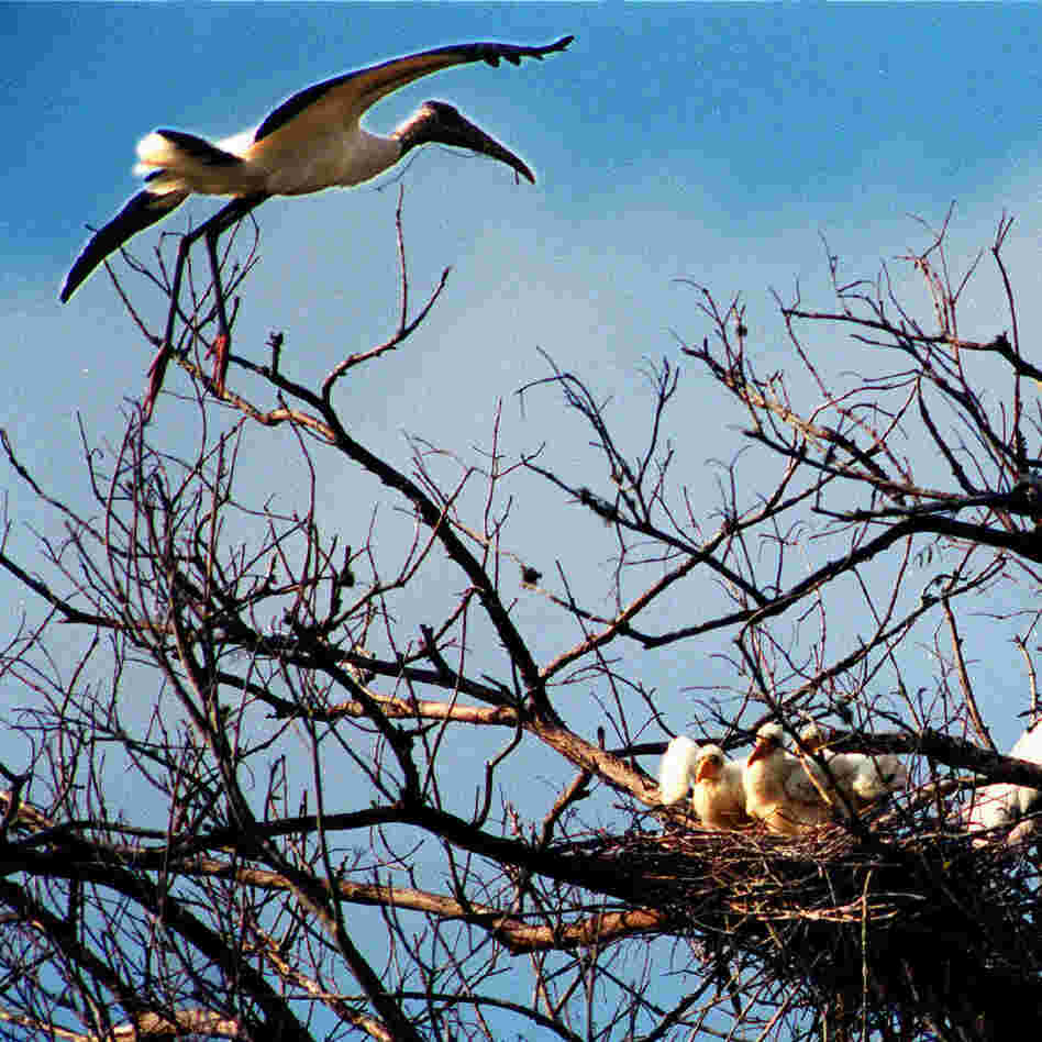 A wood stork soars over its nest in Corkscrew Swamp Sanctuary near Fort Myers, Fla., in 2008, as baby wood storks wait in their nest for an adult to bring food.