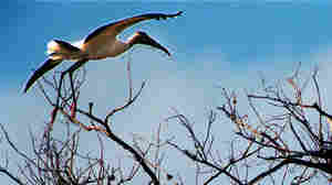 Wood Stork's Endangered Status Is Up In The Air