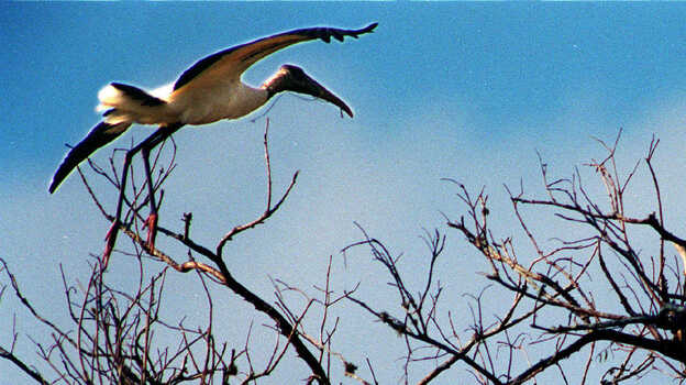 A wood stork soars over its nest in Corkscrew Swamp Sanctuary near Fort Myers, Fla., in 2008, as baby wood storks wait in their nest for an adult to bring food. (MCT /Landov)