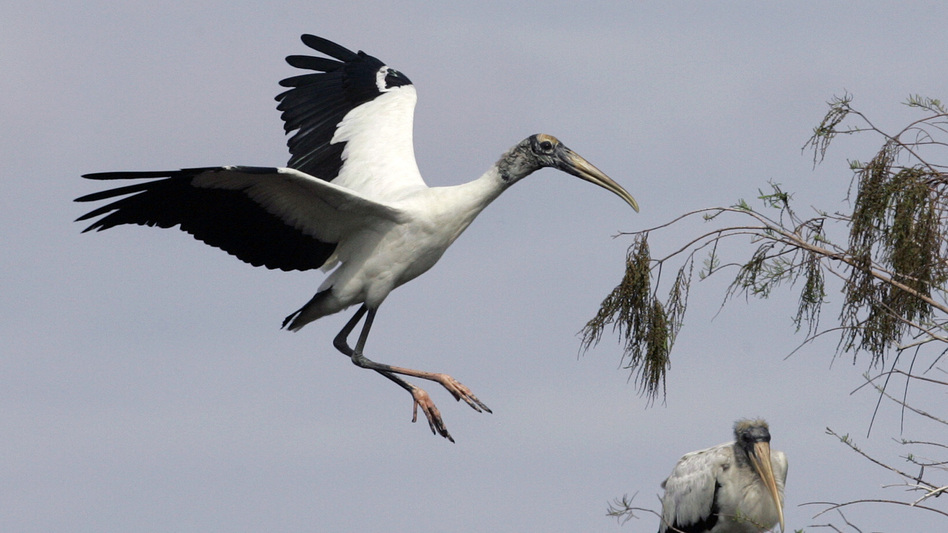 A wood stork prepares to land in a tree at Big Cypress National Preserve in Florida in 2005. The bird's wingspan can reach more than six feet. (AP)