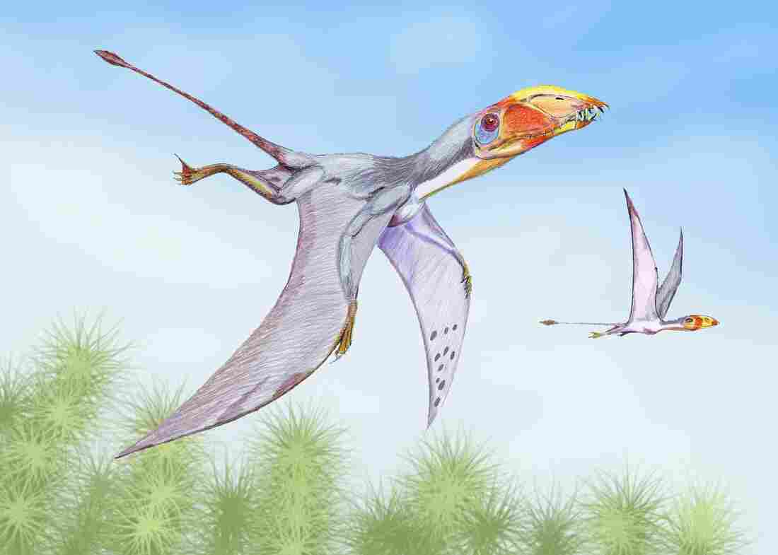 Dimorphodon macronyx flying.