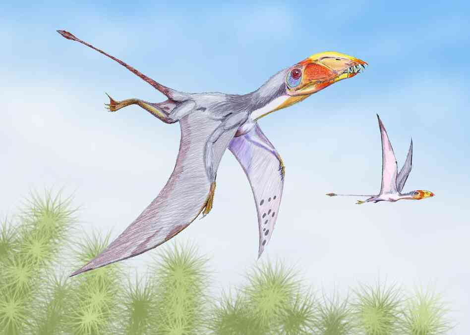 Dimorphodon macronyx flying.