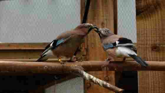A eurasian jay gives its mate a food gift.