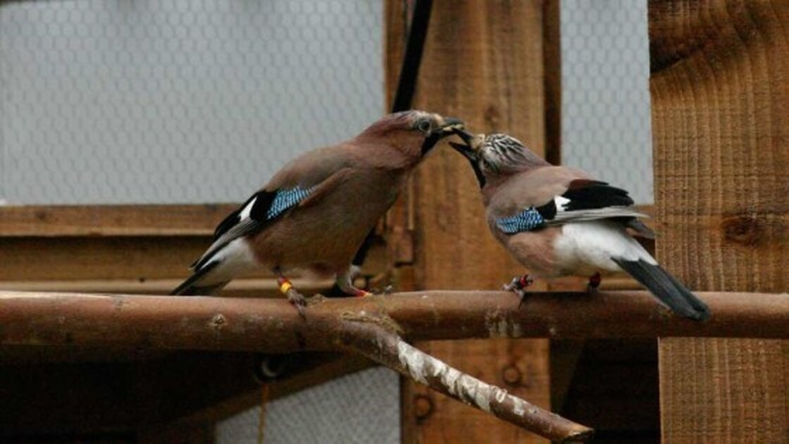 A eurasian jay gives its mate a food gift.