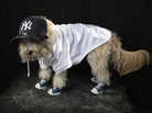 Maltipoo Shaggy is dressed as a Yankees fan at the Tompkins Square Halloween Dog Parade in New York City last year. Commentator Frank Deford says the Yankees are turning into a home for the assisted living.