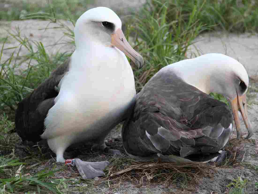 Wisdom (left) and her mate on their nest last November at the Midway Atoll National Wildlife Refuge.