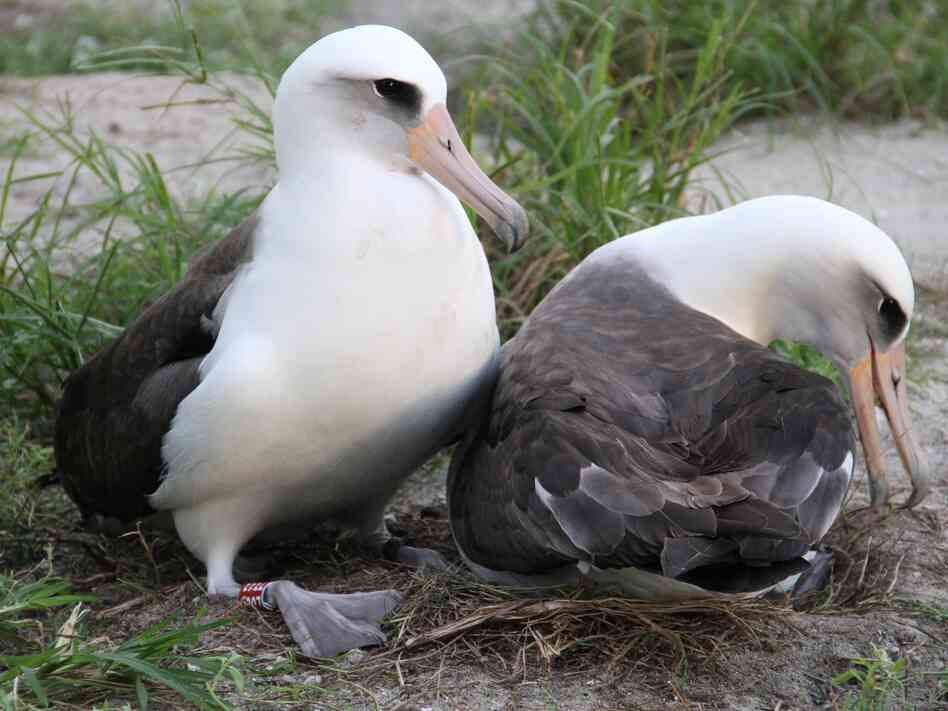 Wisdom (left) and her mate on their nest last November at the Midway Atoll National Wild