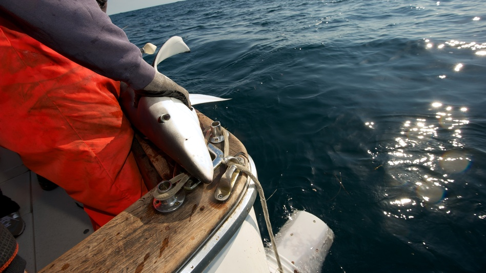 Capt. Art Gaeten holds a blue shark that was caught during a research trip in Nova Scotia. Scientists are studying the impact of swordfish fishing methods on the shark population. (Dean Casavechia for NPR)