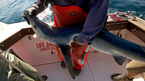Capt. Art Gaeten holds a blue shark caught off the coast of Nova Scotia during a research outing. Studies show that 35 percent of sharks caught by swordfish boats die either on the hook or within days of release.