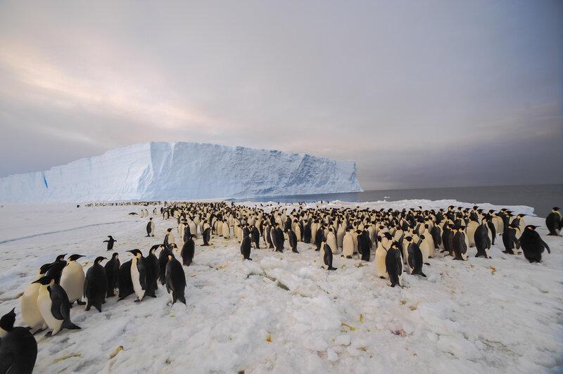 Image result for penguin herd in antarctica pictures