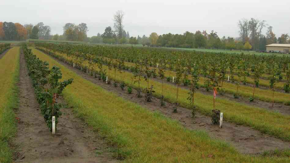 Oregon State University has been growing a variety of hazelnut t