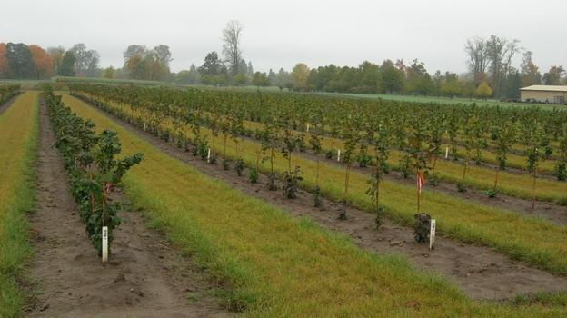 Oregon State University has been growing a variety of hazelnut trees over the years to develop blight-resistant breeds. (Rebecca McCluskey)