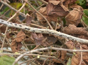 Trees infected with Eastern filbert blight develop cankers that will kill of its branches.