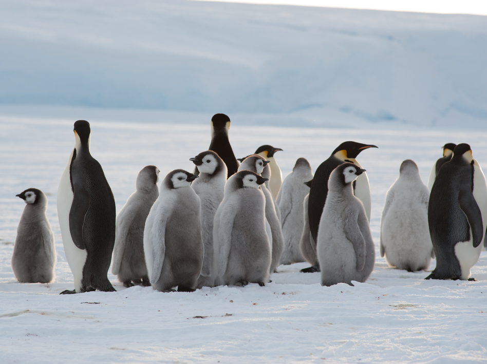 Adults and chicks at the newly discovered emperor penguin colony. The animals had never had human contact.  (International Polar Foundation)