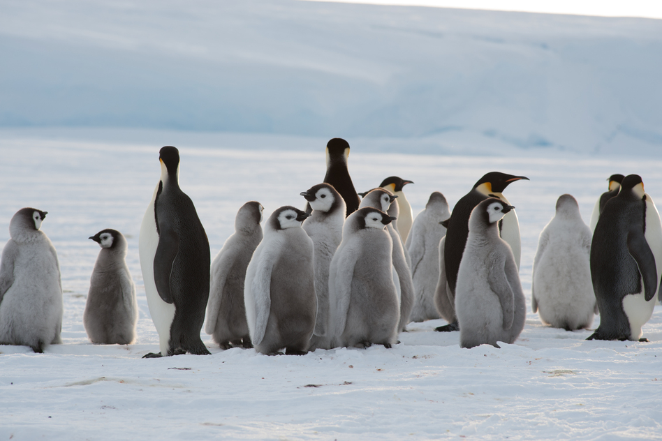 Adults and chicks at the newly discovered emperor penguin colony. The animals had never had human contact.