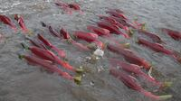 Bright red sockeye salmon swim up the Fraser River to the stream where they were hatched.
