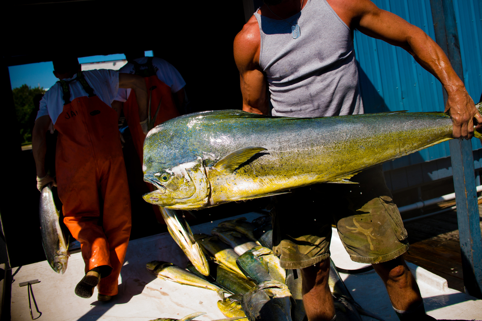 Fisheries that are certified as sustainable says they do not overfish, that they protect other kinds of life in the ocean, and that managers keep track of the latest research and adjust methods to minimize environmental impact. (Chip Litherland for NPR)