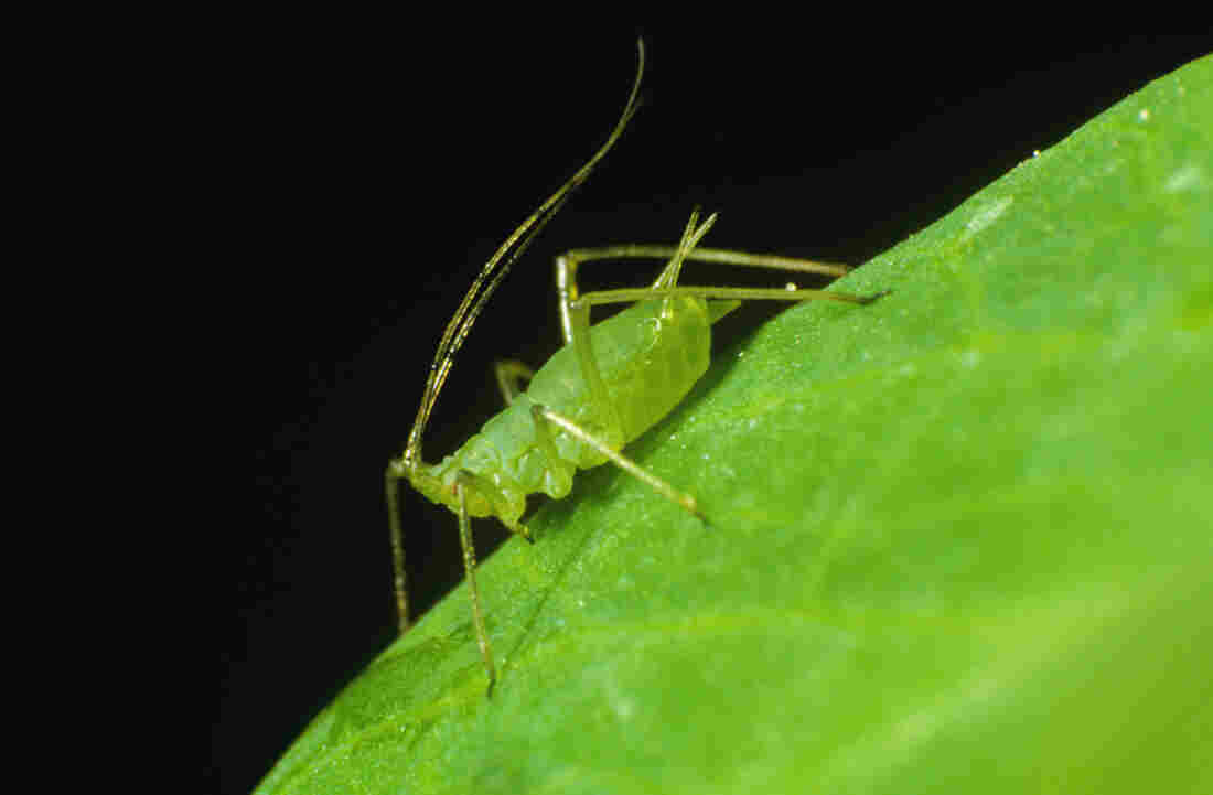 A Pea Aphid.
