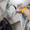 "A sockeye salmon that was caught from the research vessel Miss Delta off the coast of Vancouver is examined. The MSC has certified the fish as ""sustainable"" even though there is concern from scientists and environmentalists."