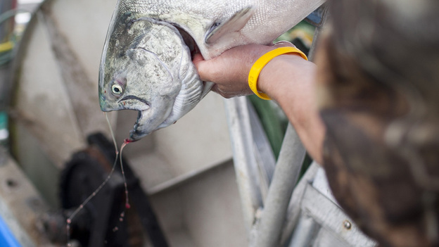 """A sockeye salmon that was caught from the research vessel Miss Delta off the coast of Vancouver is examined. The MSC has certified the fish as """"sustainable"""" even though there is concern from scientists and environmentalists. (Brett Beadle for NPR)"""