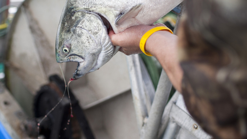 "A sockeye salmon that was caught from the research vessel Miss Delta off the coast of Vancouver is examined. The MSC has certified the fish as ""sustainable"" even though there is concern from scientists and environmentalists. (Brett Beadle for NPR)"