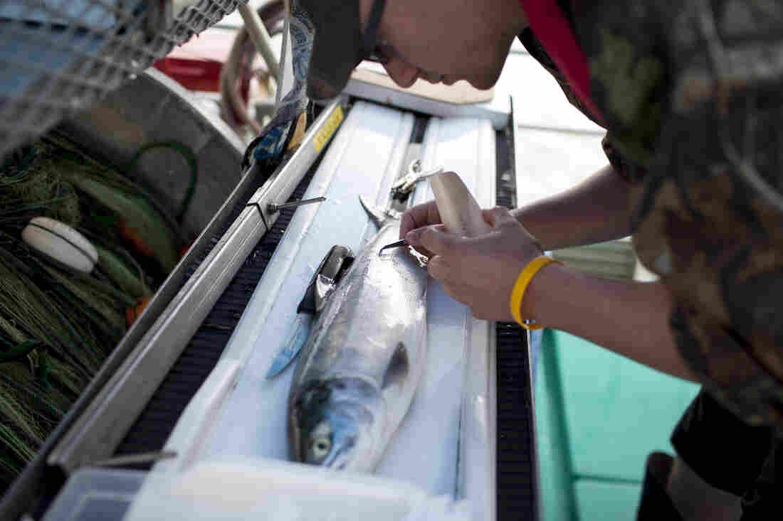 Mike Donaldson takes scale samples from a sockeye salmon as part of research for the Pacific Salmon Commission. The commission is a joint body formed by the U.S. and Canadian governments to conserve, manage and encourage production of Pacific salmon.