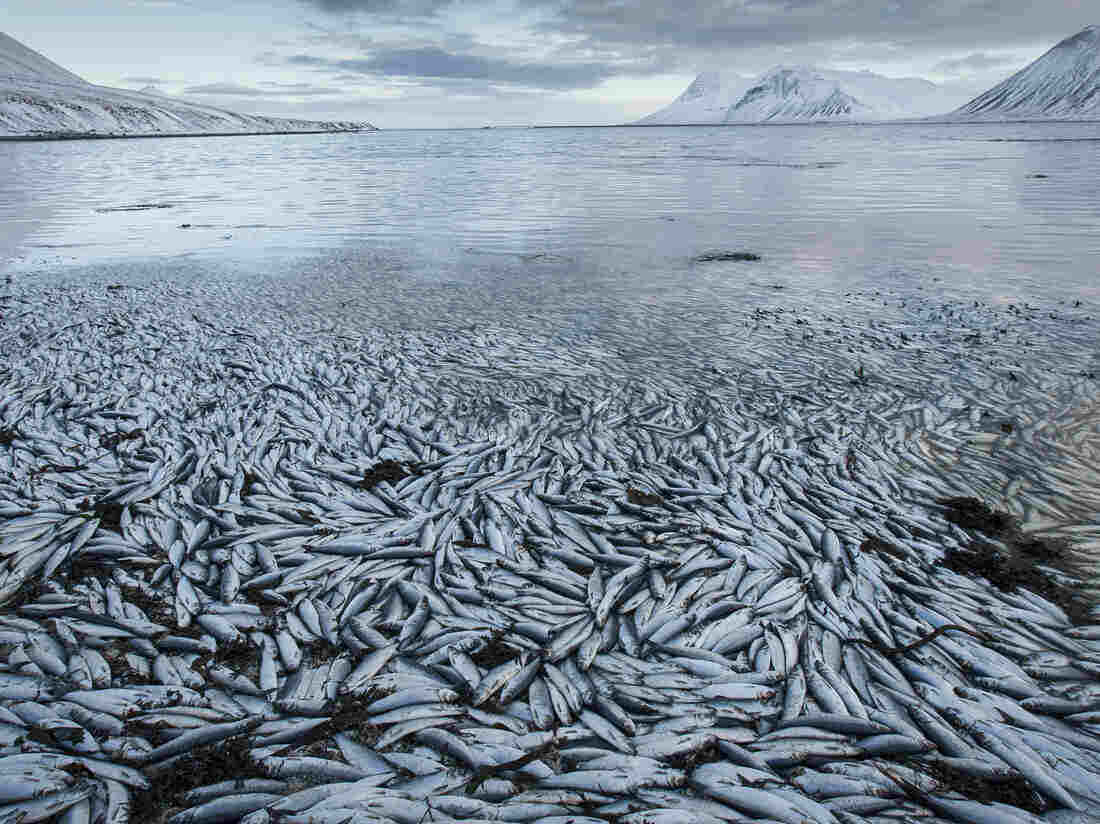 Lack of oxygen probably caused this mass herring die-off on Feb. 3 in an Icelandic fjord.