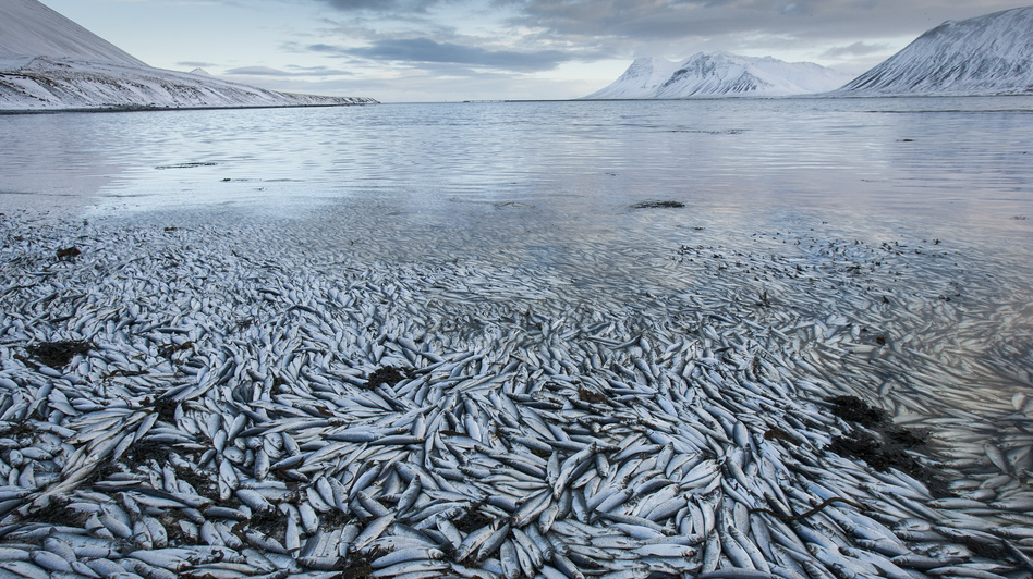 Lack of oxygen probably caused this mass herring die-off on Feb. 3 in an Icelandic fjord. (AP)