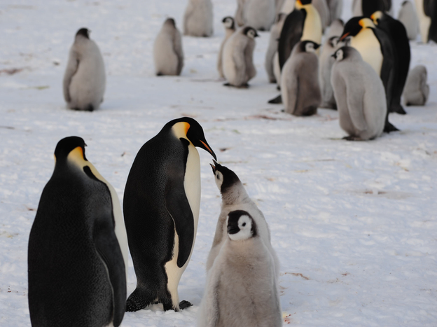 A few members of the newly discovered 9,000-strong emperor penguin colony on Antarctica's Princess Ragnhild Coast. (International Polar Foundation)