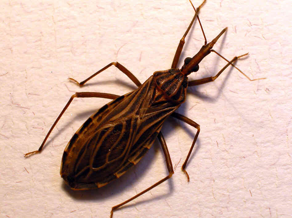 Don't let the name fool you. The kissing bug, or Rhodnius prolixus, transmits the Chagas parasite when it bites someone's face.