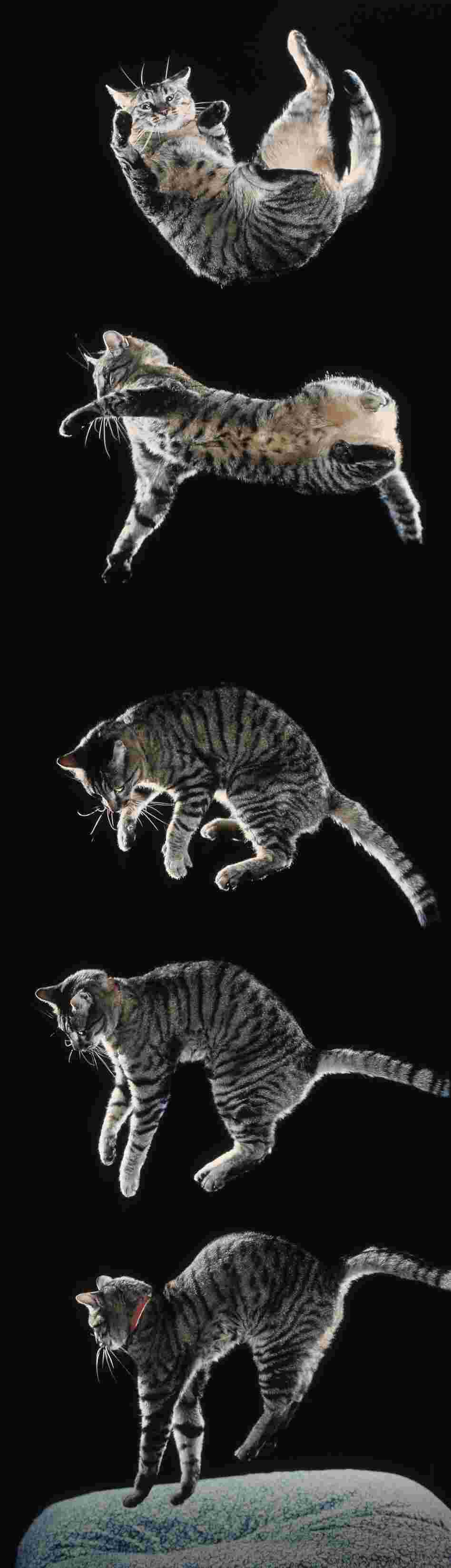 Cat falling sequence. Six sequential images showing righting from upside down.