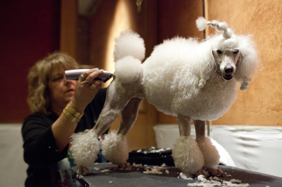 Leslie Simis trims her poodle Sharona's fur at the doggie spa, getting her ready for the big show. (NPR)