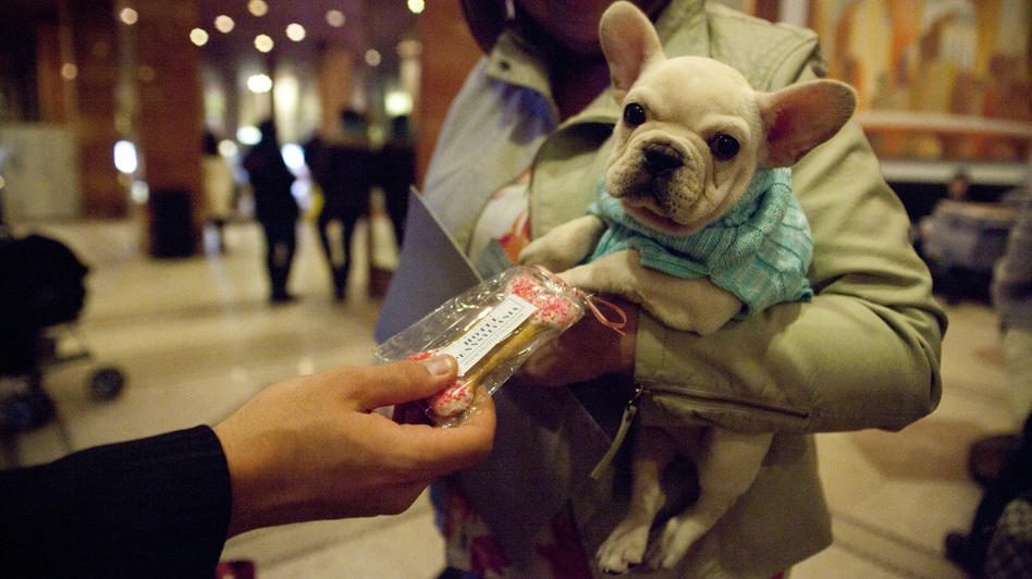 Jerry Grymek, doggie concierge at the Hotel Pennsylvania in Manhattan, hands a treat to Rennet, a 10-week-old French bulldog. Rennet came to the hotel from Pennsylvania ahead of the 137th Westminster Kennel Club Dog Show. (NPR)
