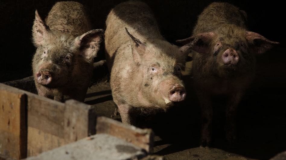 Pigs at a farm in Beijing peer out at visitors. Half of all the pigs in the world live in China. (AP)