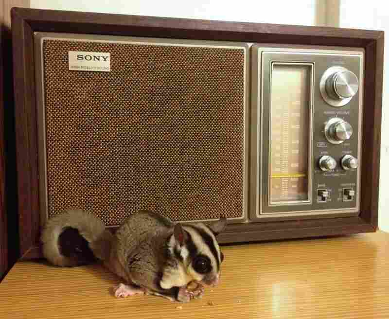 "#5: ""When he's not busy dangling Vanilla Ice off a hotel balcony, Suge Knight the sugar glider enjoys munching almonds and listening to WAMU 88.5 [Washington, D.C.]."""
