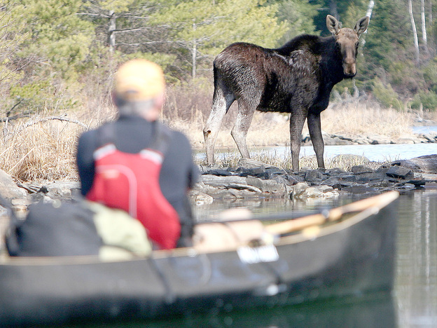 On an April 2010 canoe trip to Knife Lake, Minn., Steve Piragis of Ely, Minn. was greeted by this bull moose. (Indentations on the moose's head indicated that he had shed his antlers.)