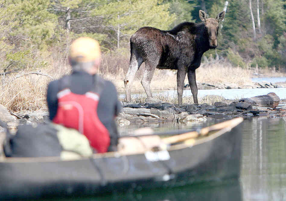 On an April 2010 canoe trip to Knife Lake, Minn., Steve Piragis of Ely, Minn. was greeted by this bull moose. (Indentations on the moose's head indicated that he had shed his an
