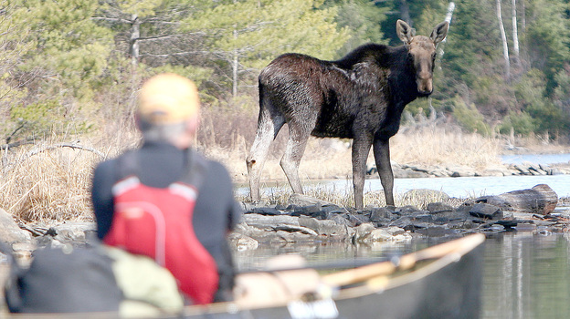 On an April 2010 canoe trip to Knife Lake, Minn., Steve Piragis of Ely, Minn. was greeted by this bull moose. (Indentations on the moose's head indicated that he had shed his antlers.) (Courtesy of Duluth News Tribune)