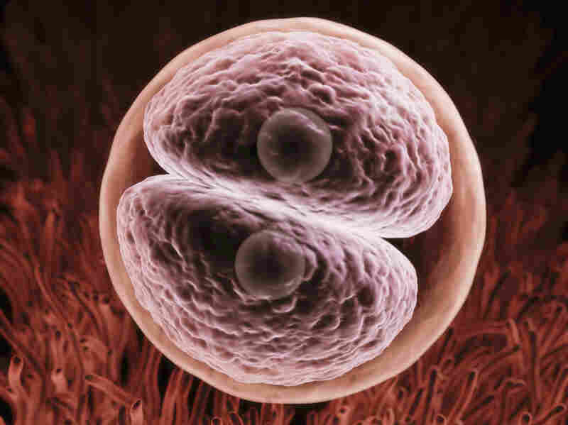 A zygote begins its journey to expression in the form of a human being.