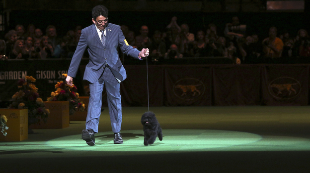 Ernesto Lara presents Banana Joe, an affenpinscher, during the Best in Show competition at the 137th Westminster Kennel Club dog show on Tuesday at Madison Square Garden in New York. (AP)
